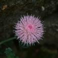 四季咲きアザミ