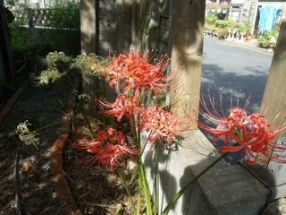 Higanbana01