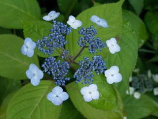 Ama02 山紫陽花(ヤマアジサイ)の変種と言われる 甘茶(アマチャ)が開花した。... 懐かし